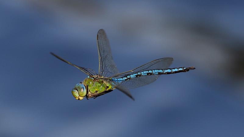 Anax imperator, Blue Emperor, Stor Kejserguldsmed, male