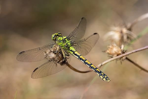 Green Snaketail, Grøn kølleguldsmed, Ophiogomphus cecilia, female