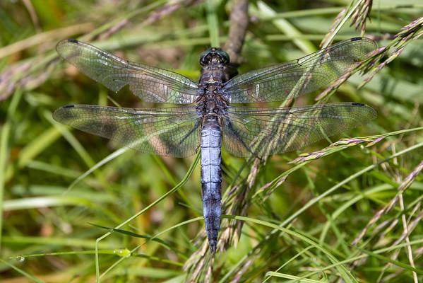 Black-tailed Skimmer, Orthetrum cancellatum, Stor blåpil, male
