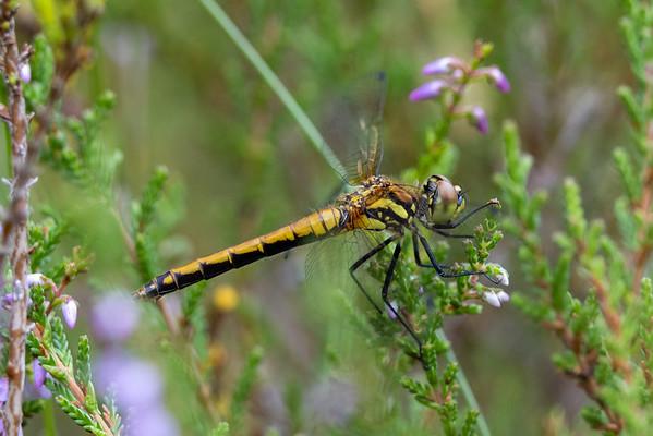 Black Darter, Sort hedelibel, Sympetrum danae, female