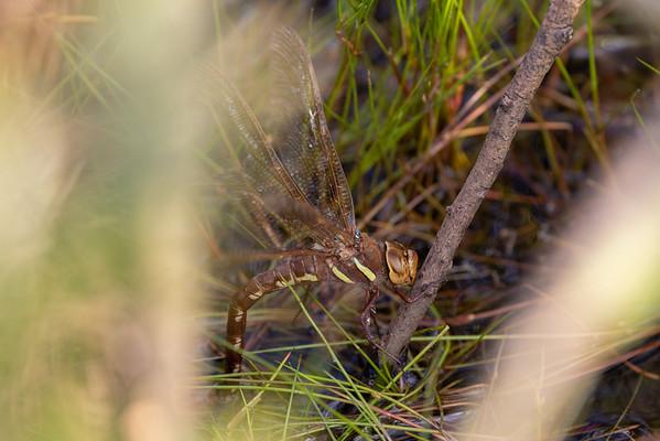 Aeshna grandis, Brown Hawker, Brun mosaikguldsmed, female