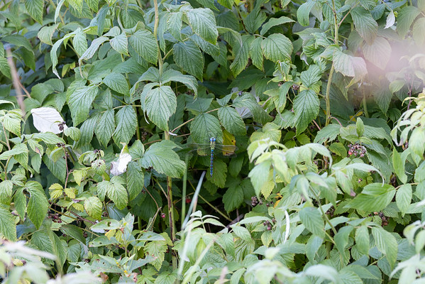 Aeshna viridis, Green Hawker, Grøn mosaikguldsmed, male