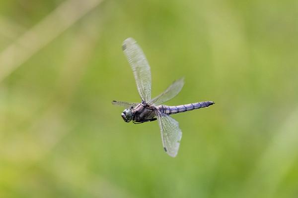 Black-tailed Skimmer, Orthetrum cancellatum, Stor blåpil, female