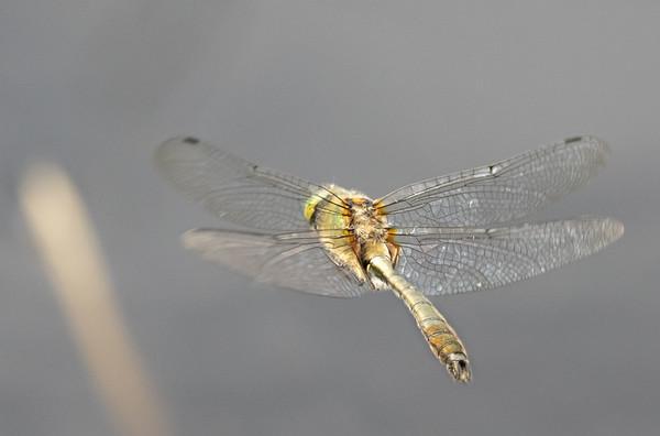 Cordulia aenea, Downy Emerald, Grøn smaragdlibel, male