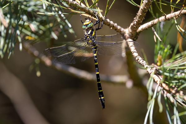 Common goldenring, Cordulegaster boltoni, Kongeguldsmed, male