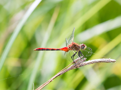 White-faced Meadowhawk