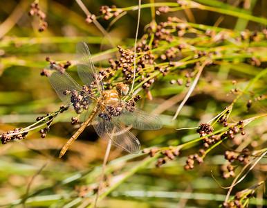 Striped Meadowhawk (Sympetrum pallipes )