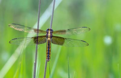 Widow Skimmer Dragonfly on Twig