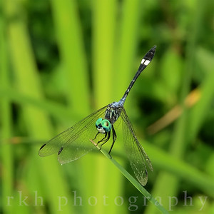 Square-spotted Dasher