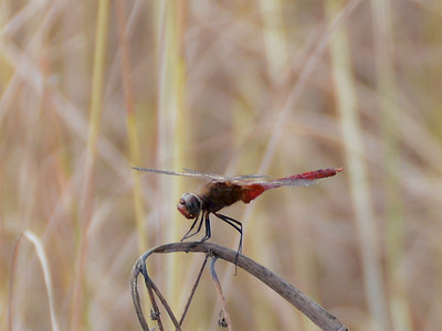 Red-tailed Pennant