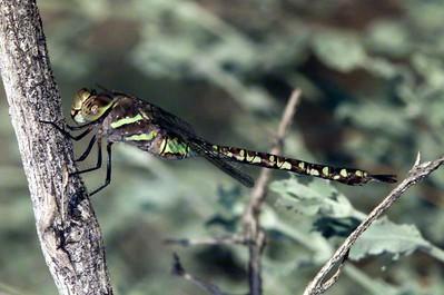 female- green version @ Borrego Palm Canyon, Anza Borrego State Park 10/03/03