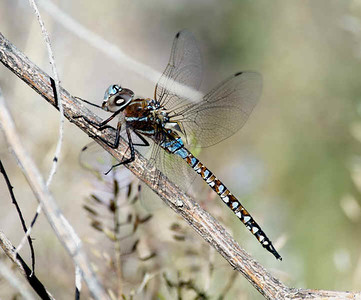 Blue-eyed Darner in Madera Canyon, Santa Rita Mtns. 04/19/2008