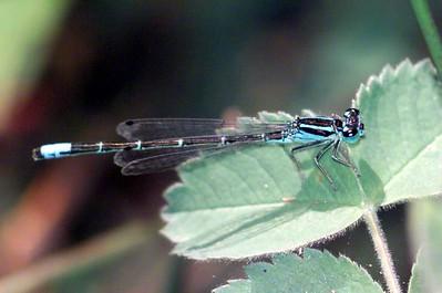 Doane Pond, Mt. Palomar State Park 06/03 (male)