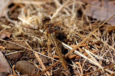 male @ Rush Creek, Modoc County, 09/09/05