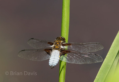 Broad Bodied Chaser 6