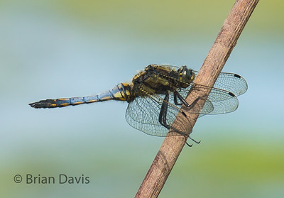 Black Tailed Skimmer 3