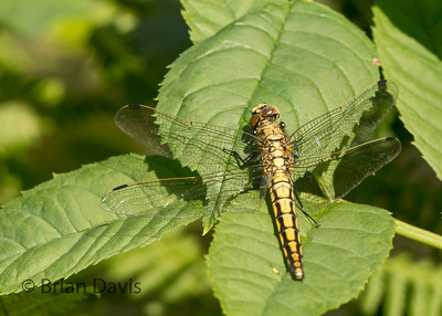 Black Tailed Skimmer 5