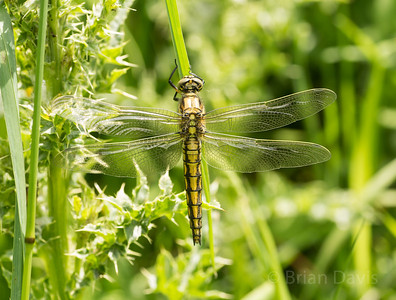 Black Tailed Skimmer 2