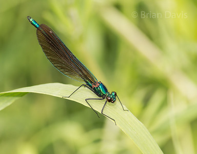 Beautiful Demoiselle 3