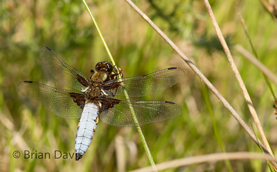 Broad Bodied Chaser 4