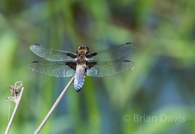Broad Bodied Chaser 8