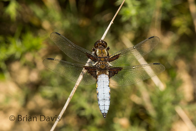 Broad Bodied Chaser 3