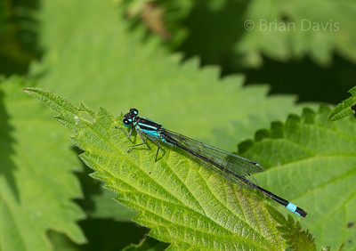 Blue Tailed Damselfly 1