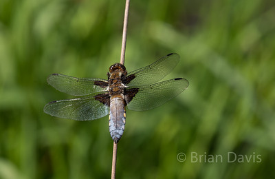 Broad Bodied Chaser 7