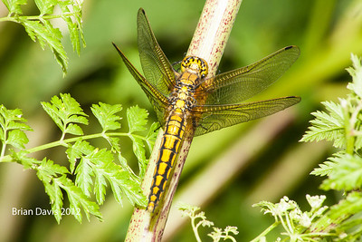 Black Tailed Skimmer Dragonfly 1