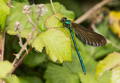 Beautiful Demoiselle 2
