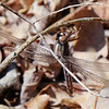 Blue Corporal, Lake Cheston, March 29