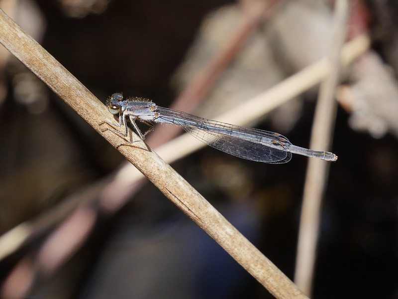 Fragile Forktail, Lake Cheston, March 8