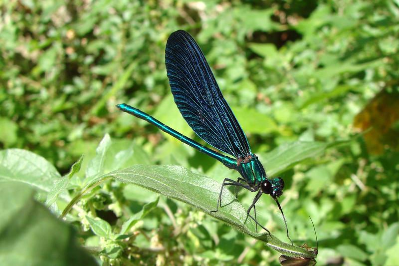 Beautiful Demoiselle (Calopteryx virgo meridionalis). Albania: Borsh, 2 July 2007.