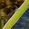 Pacific Forktail, (Ischnura cervula), male, Dankworth Pond