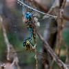 Blue-eyed Darner, (Rhionaeschna multicolor), pair in wheel, Muleshoe Ranch