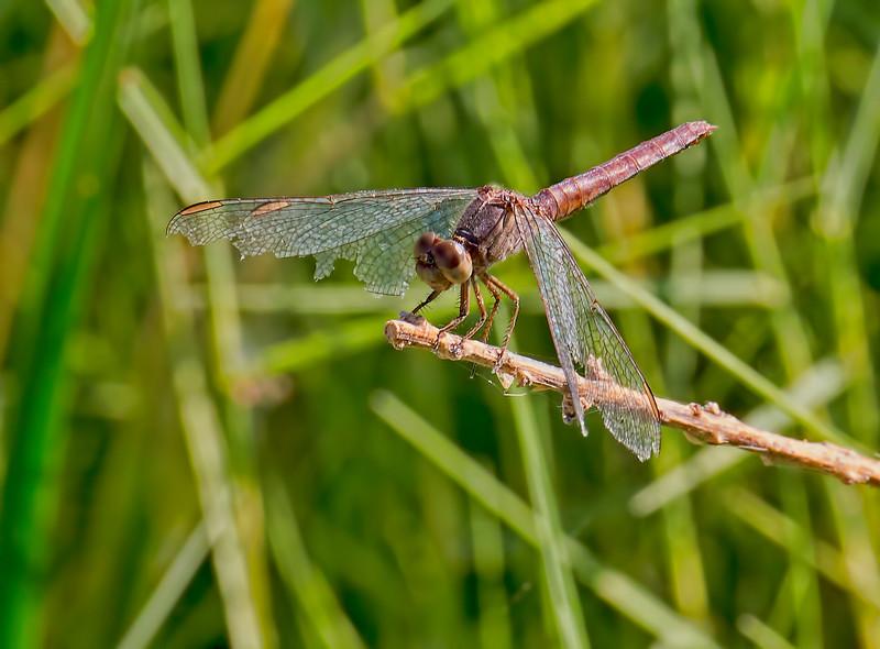Plateau Dragonlet, (Erythrodiplax basifusca), female, Dankworth Pond