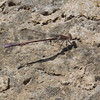 Amethyst Dancer, Argia pallens, male, Spur Cross Recreation Area, Maricopa County