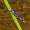 Aztec Dancer, Argia nahuana, male, Spur Cross Recreation Area, Maricopa County