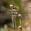 Four-spotted Skimmer, (Libellula quadrimaculata), Snow Flat, Mt Graham