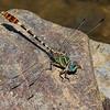 Serpent Ringtail, Erpetogomphus lampropeltis natrix, Spur Cross Recreation Area, Maricopa County