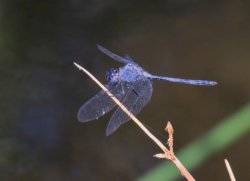 Black Setwing, Dythemis nigrescens, male, Spur Cross Recreation Area, Maricopa County