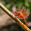 Flame Skimmer, (Libellula saturata), male, Bonita Creek