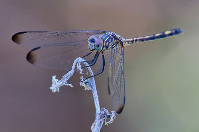 Black Setwing, Dythemis nigrescens, female, Spur Cross Recreation Area, Maricopa County