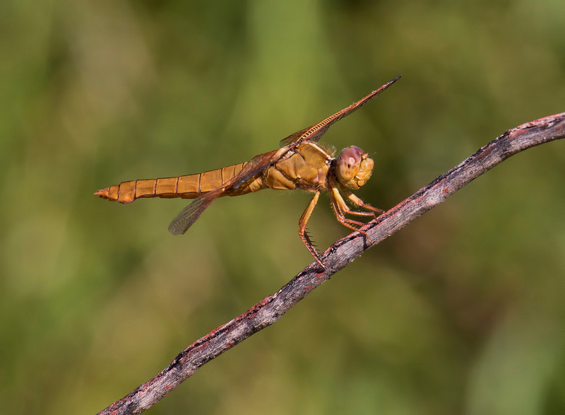 Flame Skimmer, Libellula saturata, female, Spur Cross Recreation Area, Maricopa County