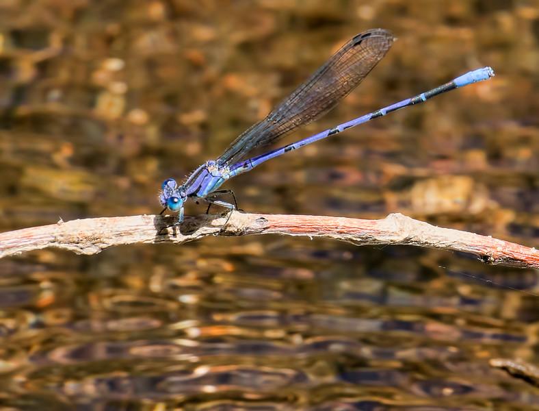 Springwater Dancer, (Argia plana), male, Muleshoe Ranch