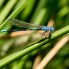 Aztec Dancer, (Argia nahuana), male, Bonita Creek