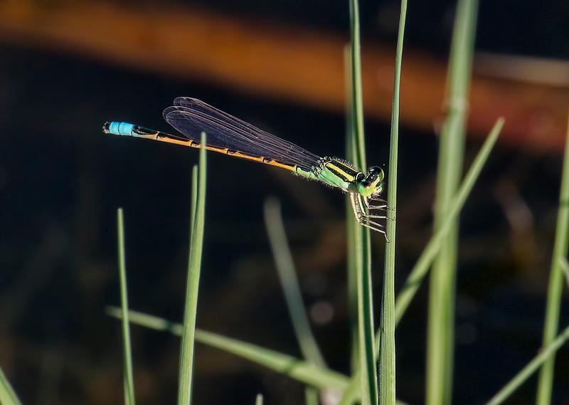 Desert Forktail, (Ischnura barberi), male, Dankworth Pond
