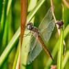 Wandering Glider, (Pantala flavescens), Dankworth Pond