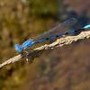California Dancer, Argia agrioides, male, Spur Cross Recreation Area, Maricopa County