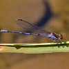 Fiery-eyed Dancer, Argia oenea, male, Spur Cross Recreation Area, Maricopa County